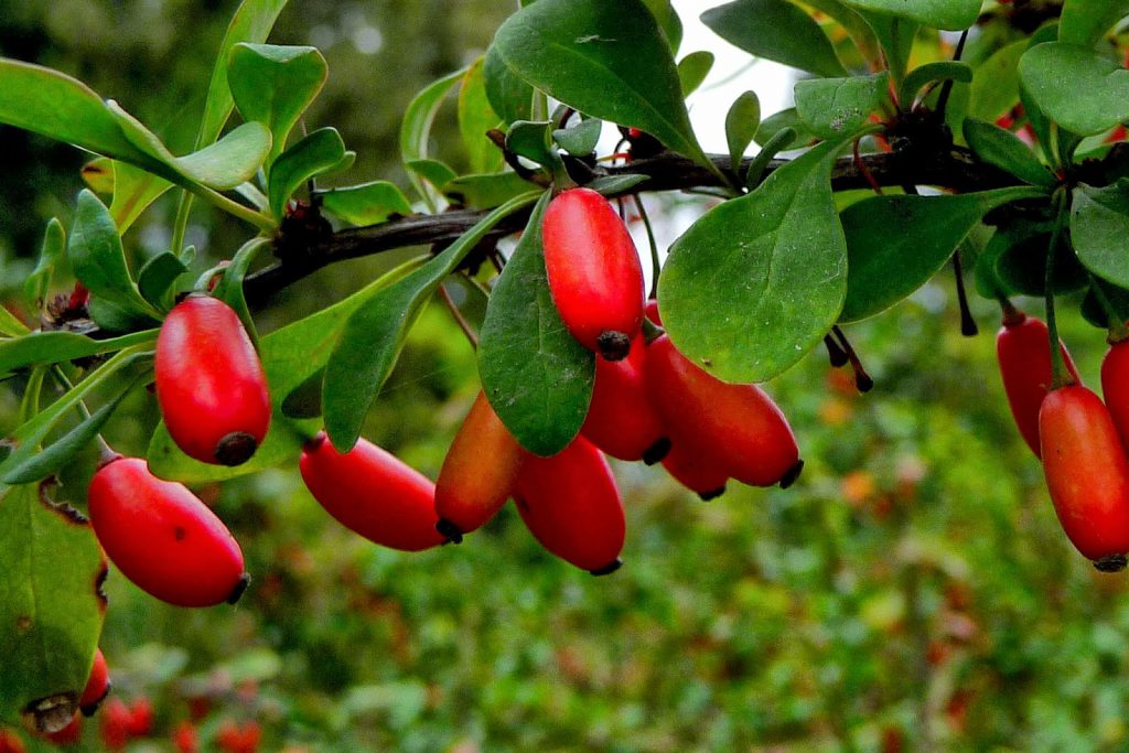 La berbérine extrait de l'épine vinette berberis vulgaris, une nouvelle arme redoutable et naturelle contre le diabète de type 2