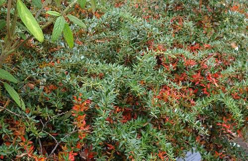 La berberine bio un principe actif extrait du Berberis vulgaris épine-vinette, contre le diabète de type 2 et anti cancer naturel puissant